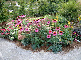 bold clumps of pink coneflowers in full bloom