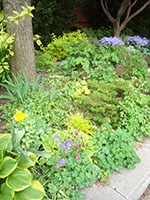 mixed planting of hostas, columbines, evergreens and Woodland Phlox