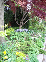 view of a perennial border, with a red Japanese Maple in the background