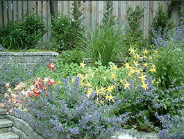blue Catmint and yellow and red Columbines in front, ornamental grasses behind